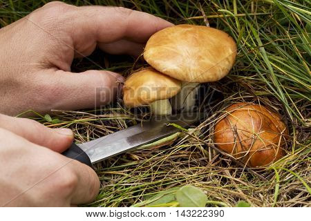 the edible mushrooms in the hands of man