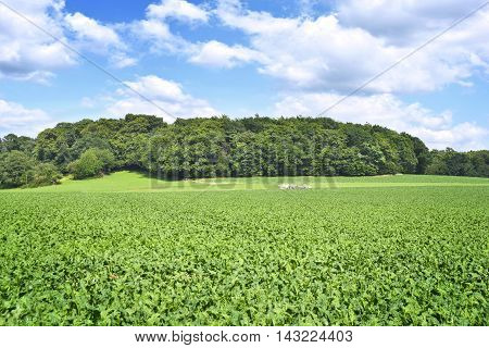 Beet field in the sun, idyllic landscape with forest and fluffy clouds.