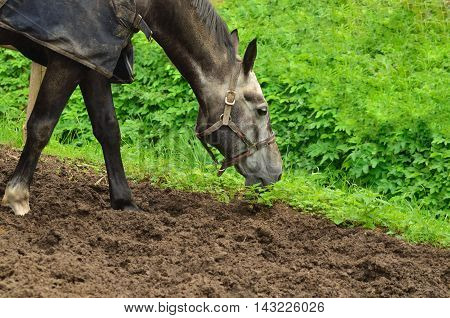 Beautiful horse nibbling grass leaning standing on footpath