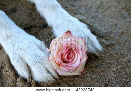 Pink rose between malamute dog paws in the sand.