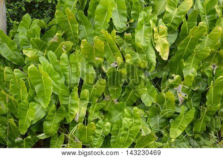 close up fresh green Philodendron leaves in nature garden