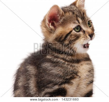 Cute tabby washes itself after feeding isolated over white background