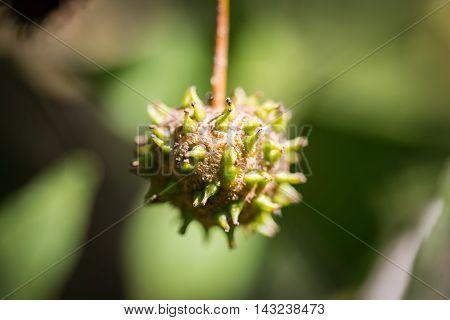 Closeup of an Anatolian sweetgum (Liquidambar orientalis) tree fruit. Selective focus on the fruit.