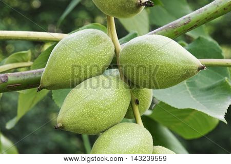 Manchurian walnut (Juglans mandshurica). Close up image of fruits