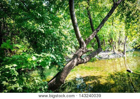Mountain river flowing through the green Anatolian sweetgum (Liquidambar orientalis) forest.