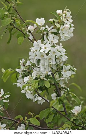 Manchurian crab apple (Malus mandshurica). Image of twigs with flowers