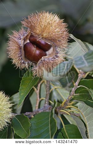 American chestnut (Castanea dentata). Close up image of fruit with nuts