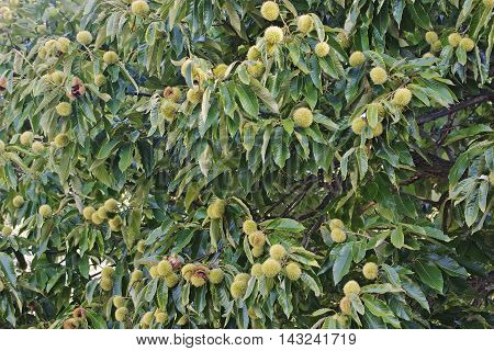 American chestnut (Castanea dentata). Tree with fruits