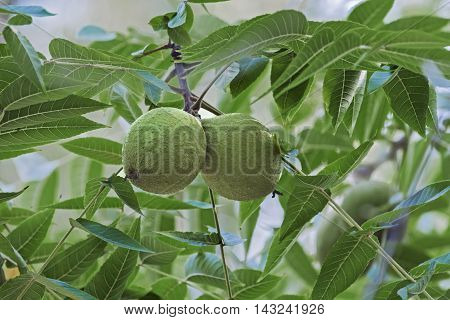 Eastern black walnut (Juglans nigra). Close up image of fruits