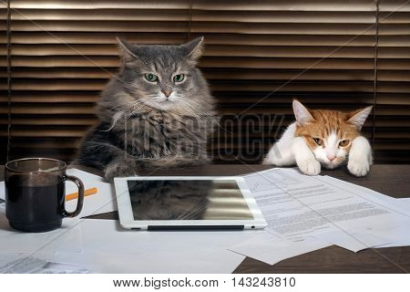 Cats office staff. The office table tablet working environment. The chief and the subordinate. The concept of business pet products different characters