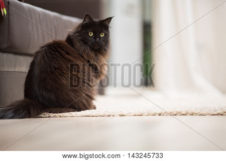 Brown maine coon cat sitting on the floor.