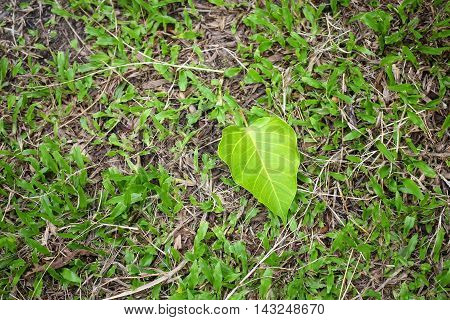 Bodhi or Peepal. Bodhi leaf on green grass background