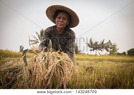 Farmer working at rice field.it's harvest time