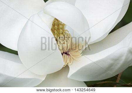 Southern magnolia (Magnolia grandiflora). Called Evegreen Magnolia Bull Bay Bullbay Magnolia Laurel Magnolia and Loblolly Magnolia also