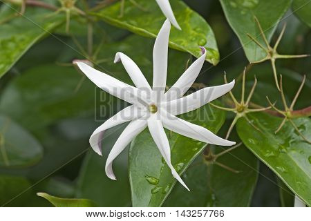 Angelwing jasmine (Jasminum nitidum). Called Shining jasmine Confederate jasmine and Star jasmine also