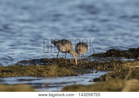 Black-tailed Godwits, Feeding On Marshland In The Sea