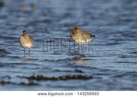 Black-tailed Godwits, Standing In The Sea, Resting