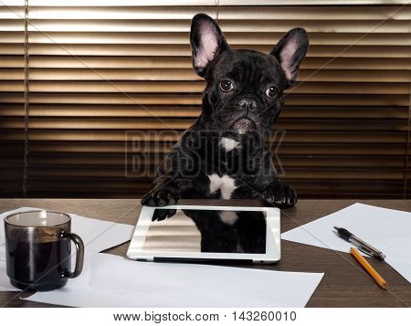 The dog in the office behind a desk. Cabinet tablet paper and cup of coffee. Bulldog - boss at the table. The concept of business pet head of the company the boss