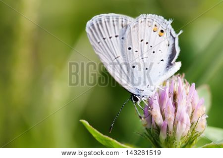 Blue wings butterfly collecting nectar. macro view gossamer-winged Polyommatus icarus sitting on cloverf. view shallow depth of field.