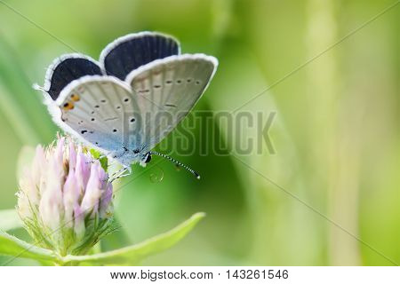 Colorful butterfly closeup. Blue orange gossamer-winged Polyommatus icarus on clover flower. Summer time landscape, macro view