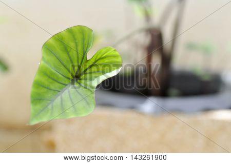 caladiumelephant leaf or Elephant's Ear in the flower pot