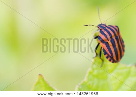 Colorful shield bug on the top of green leaf. Red black insect Pentatomidae close-up. macro, shallow depth of field