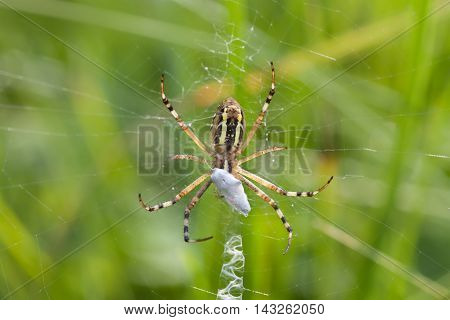 Wasp orb-web spider Argiope bruennichi. macro view, shallow depth of field photo