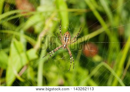 Wasp spider Argiope bruennichi. orb-web Insect with yellow stripes, web pattern. green grass background, macro view, horizontal soft focus