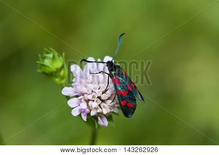 Black Butterfly with red spots. Six-spot burnet insect. Zygaena filipendulae macro view, soft focus