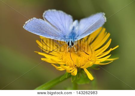 Blue butterfly macro view. gossamer-winged Polyommatus icarus nectar collecting, yellow flower background.