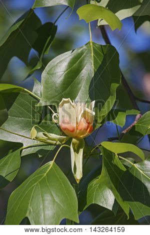 Tulip tree flower (Liriodendron tulipifera). Called Tuliptree American Tulip Tree Tulip Poplar Yellow Poplar Whitewood and Fiddle-tree also. Symbol of Indiana Kentucky and Tennessee