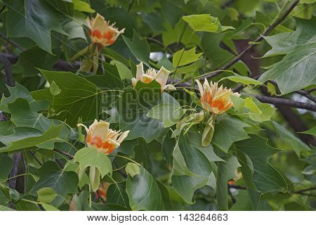 Tulip tree flowers (Liriodendron tulipifera). Called Tuliptree American Tulip Tree Tulip Poplar Yellow Poplar Whitewood and Fiddle-tree also. Symbol of Indiana Kentucky and Tennessee