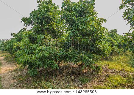 longan tree in Chiang Rai City Thailand