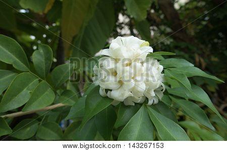 White flower Murraya paniculata or Orang Jessamin on tree
