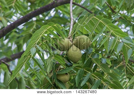 Eastern black walnut (Juglans nigra). Image of tree fruits