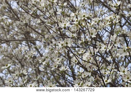 Flowering Dogwood flowers (Cornus florida). Called American Dogwood and Eastern Dogwood also. Symbol of North Carolina West Virginia Missouri and Virginia