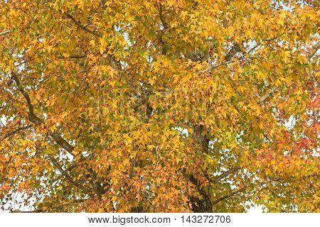 Golden yellow Autumn leaves of Sweetgum tree (Liquidambar) in South Australia