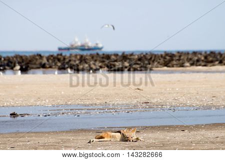 Black Back Jackal On Beach Near Seal Colony.
