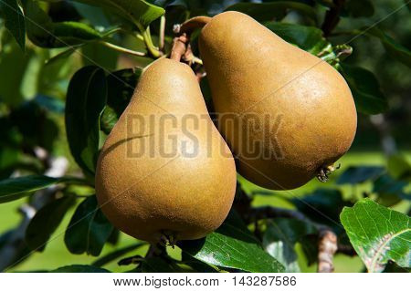Two tasty fresh pears growing on the tree