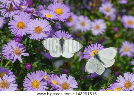 White Cabbage Butterfly duet on the bush of chrysanthemum