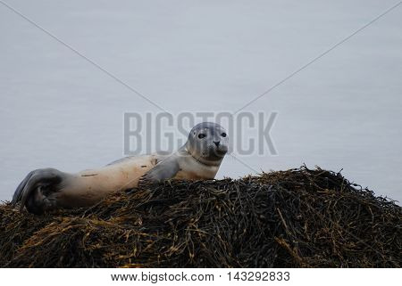 Seal pup perched upon a seaweed covered rock.