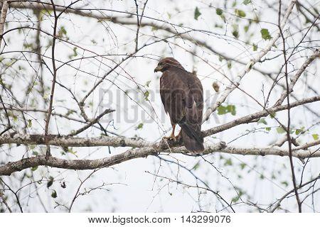 golden eagle (Aquila chrysaetos) sitting on birch tree branch