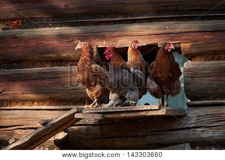 Rooster Or Chickens On Traditional Free Range Poultry Farm