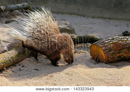 African crested porcupine Hystrix cristata displaying spines in the zoo poster
