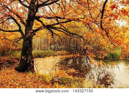Autumn landscape. Autumn nature view. Autumn cloudy landscape of old autumn oak tree near the pond in cloudy autumn weather - autumn colorful nature. Autumn colored landscape view of autumn forest