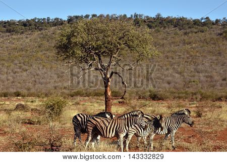 picture of a group of burchell's zebra's in madikwe game reserve in south africa.