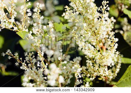 Bushy White Flowers