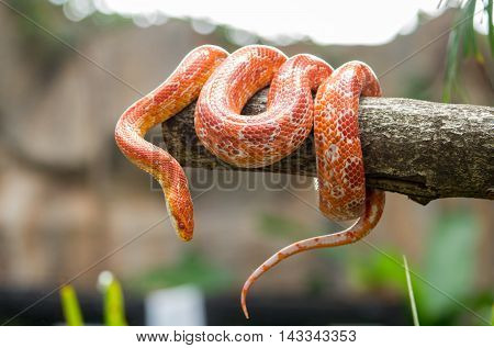 Corn snake on a branch in front of blur background