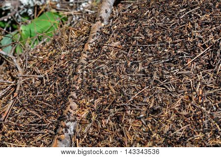 Closeup of anthill covered with busy worker ants