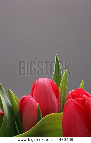 Three Tulips With Copy Space
